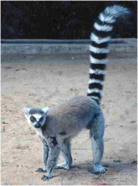A ring-tailed lemur from Madagascar